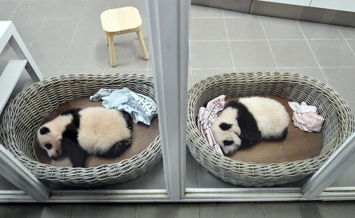 De babypanda's in de Belgische dierentuin Pairi Daiza.