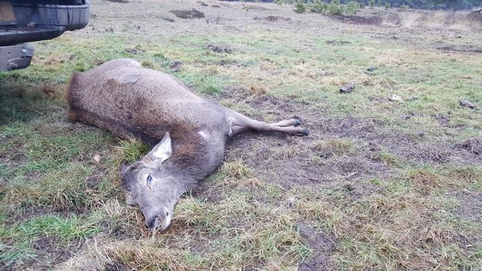 Een edelhert is omgekomen nadat deze in volle paniek tegen een boom opliep.