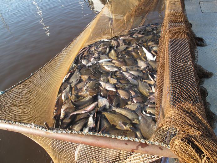 Gevangen schubvis wordt 'aan wal gebracht'.