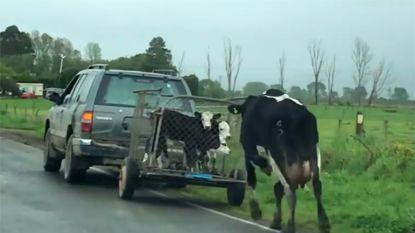 Ook koeien hebben moederinstinct: koe loopt achter haar kalfjes terwijl ze worden weggevoerd