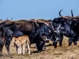 Provincie verlengt bijvoeren van grote grazers in Oostvaardersplassen