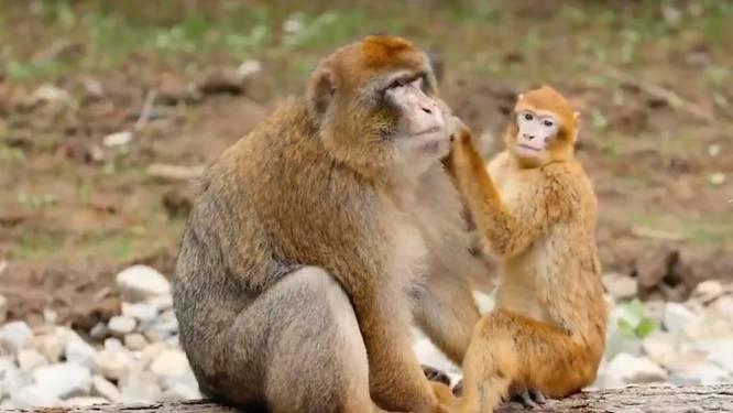 Familie geredde berberapen vindt onderdak in Planckendael
