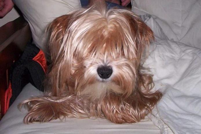 Het hondje Brammetje dat al zes weken wordt vermist.