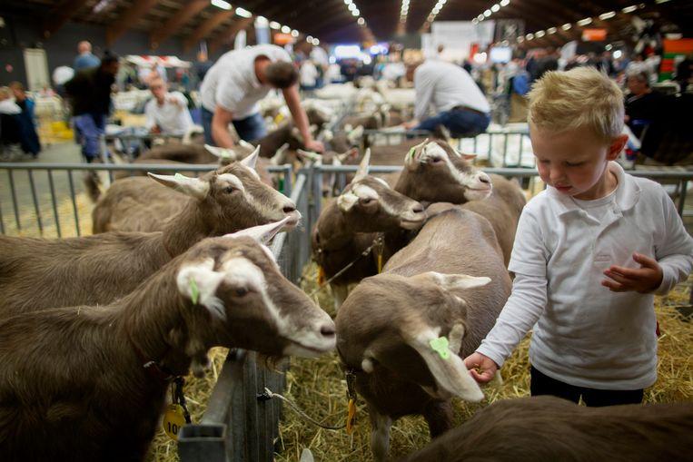 Op het Nationale Geiten Event in Zwolle wordt gestreden om titels als 'mooiste vooruier' en beste 'eigenaarsgroep'. Beeld Herman Engbers