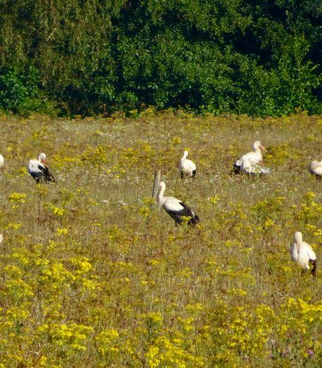 Waarom zitten de weilanden opeens vol met ooievaars? Het Zuiden lonkt!