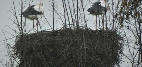 Koude start voor ooievaarspaartje op de Maai in Liempde