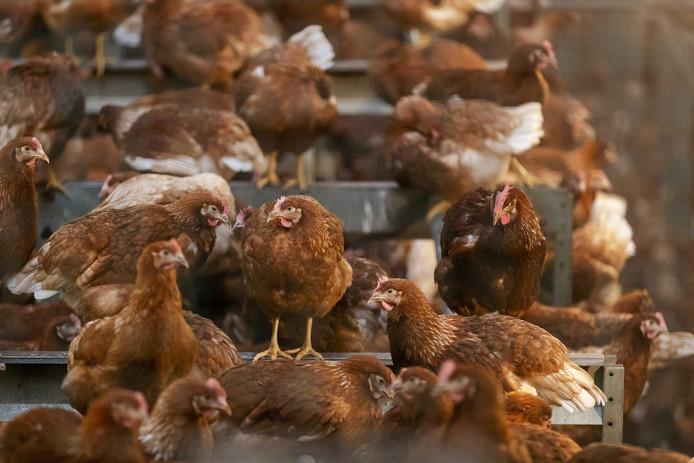 De kippen moeten tenminste vier weken binnenblijven.