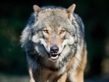 De wolf komt naar Brabant, dat staat vast
