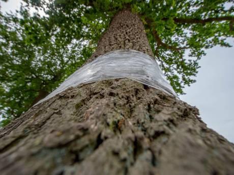 Staphorst roept inwoners op: 'Geen plastic folie gebruiken in strijd tegen jeukrups!'