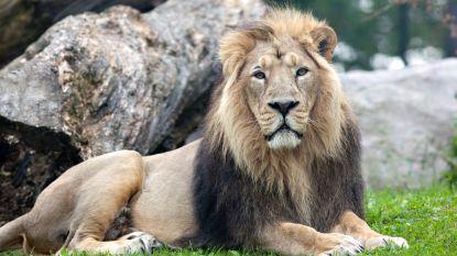 Grote bezorgdheid na dood van 23 beschermde leeuwen in India
