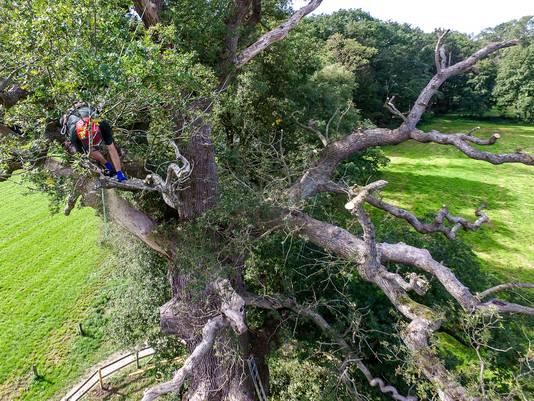 De 'dikste boom van Nederland' ondergaat een flinke onderhoudsbeurt.