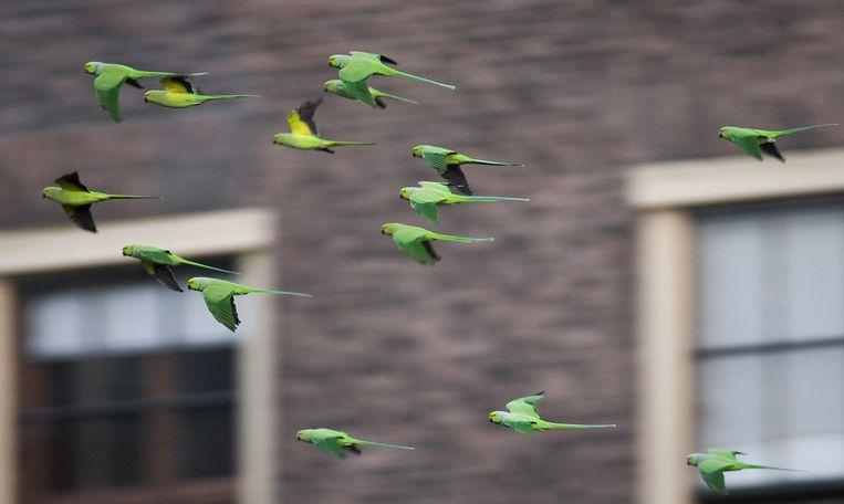 Halsbandparkieten vliegen door Den Haag op weg naar hun slaapplek in de bomen op het eiland in de Hofvijver. Beeld ANP