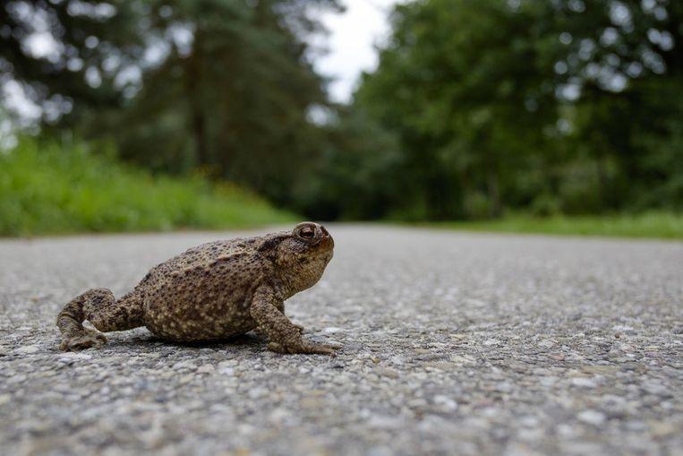 Door een deel van de weg af te sluiten wil het stadsbestuur de padden een veilige oversteek garanderen.