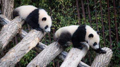 """""""U staat te lang bij de panda's. Gelieve door te stappen"""""""