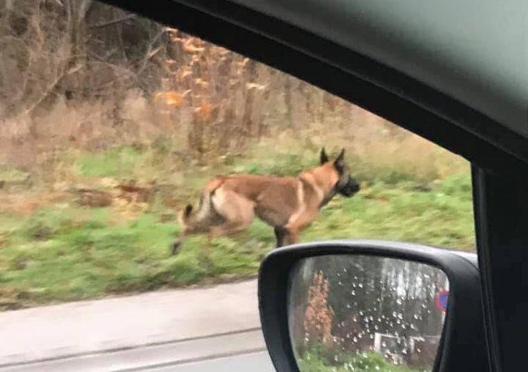Een Facebook-gebruiker kon zondagnamiddag deze foto maken toen de jonge Mechelse herder uit de richting van Liedekerke bos kwam en richting Borchtlombeek liep.