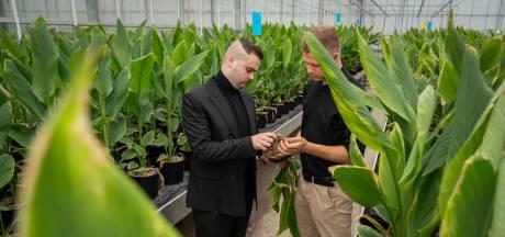 Kurkuma komt nu ook uit Nederland: tuinders zetten vaker in op exotische specerijen