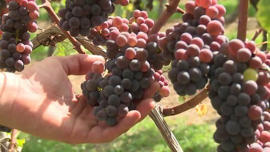 Druiven van De Apostelhoeve.