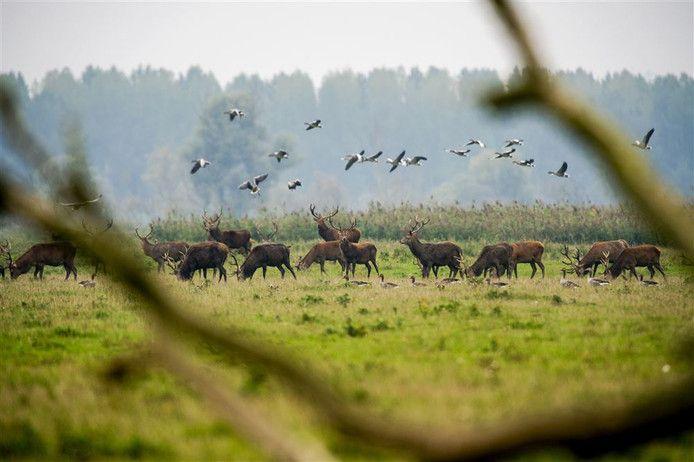 De bestuursrechter in Lelystad geeft toestemming voor het afschieten van de edelherten van de Oostvaardersplassen.