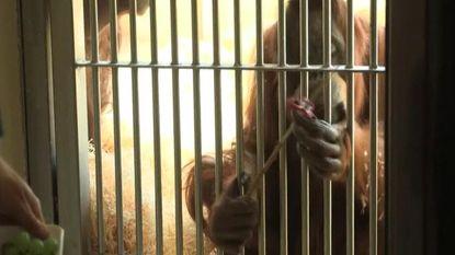 VIDEO: De fidget spinner is er voor kinderen, volwassenen en... apen!
