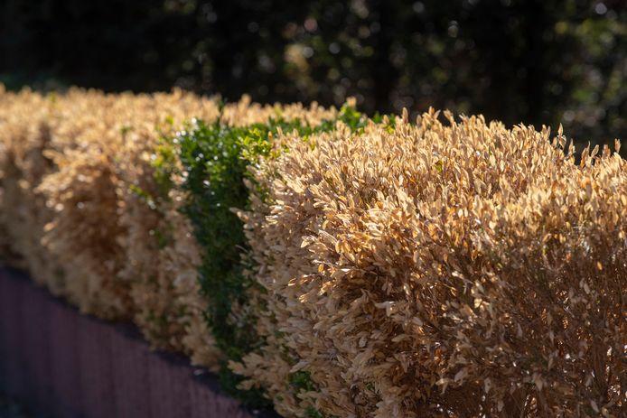 De buxusmot vreet hele hagen kaal. Veel tuinliefhebbers moeten overstappen op een andere plantensoort.