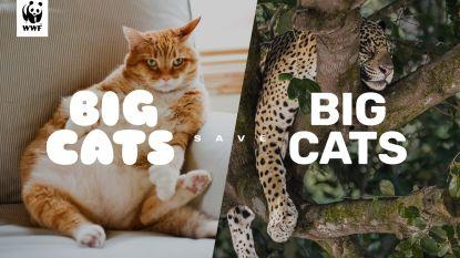 Red een grote kat, geef uw dikke kat minder eten