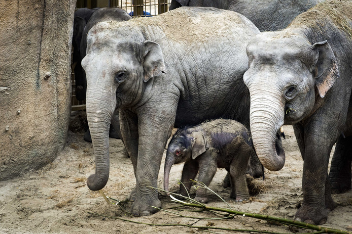 'Met twee nieuwe olifantjes gaat Wildlands het niet redden', zei marketingstrateeg Paul Moers begin dit jaar