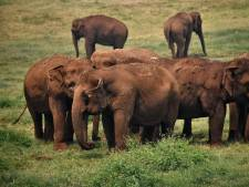 Thaise olifanten geraakt door coronacrisis: 'De kans bestaat dat ze verhongeren'