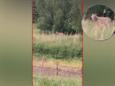 Wolf in Brabant doodt nog eens drie schapen. 'Het is wachten totdat-ie een kind aanvalt'
