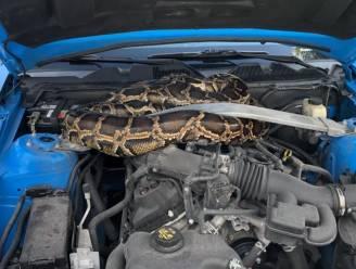 Amerikaan vindt drie meter lange python onder zijn motorkap