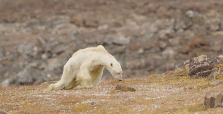 De uitgehongerde ijsbeer sleept zichzelf op drie poten voort.