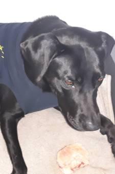Baasje na mishandeling labrador Beau: 'Voed je hond eens beter op'