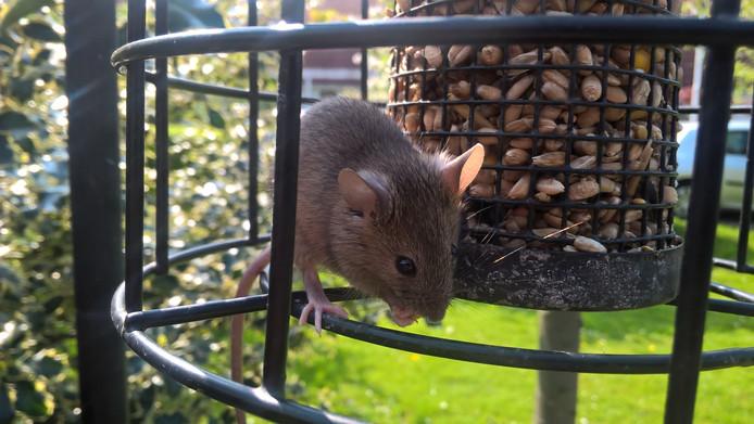 Denk je iets goeds te doen voor de vogels, heb je opeens ongenodigde gasten op je terras. Deze muis eet graag een hapje mee.