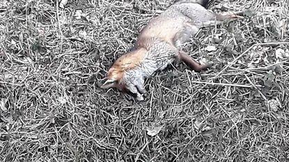 Geen verder onderzoek naar dode vossen