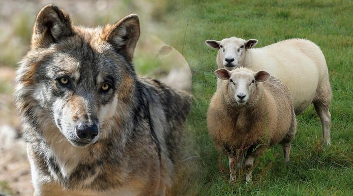 Wolf en schapen.