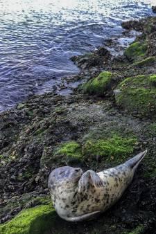 Aangespoelde zeehond gestrest door vele selfies, nu uitgezet op Maasvlakte