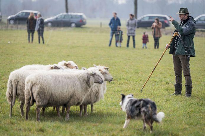 Herder Henk Mulders demonstreert het schapendrijven tijdens de open dag van de schaapskooi Haaksbergen.