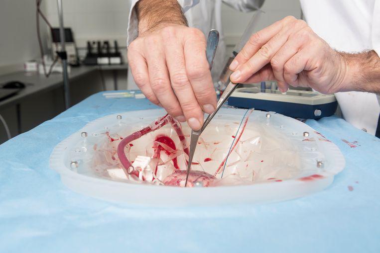 Hart-longchirurg Michiel Erasmus maakt het hart gereed voor het experiment. Beeld Niels Blekemolen