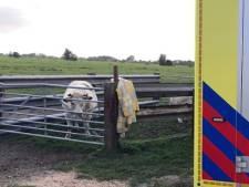 Koe verwondt man bij ontsnappingspoging uit Brandwijkse wei