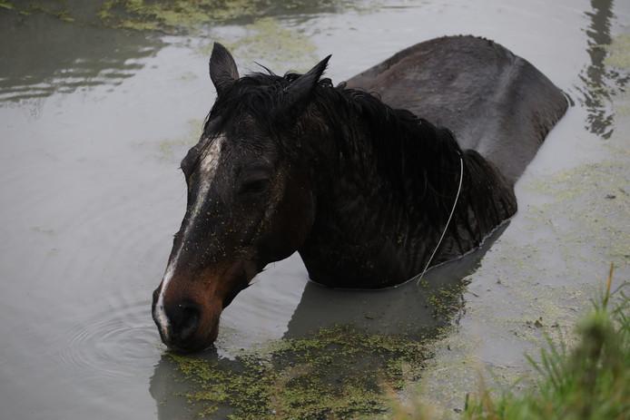 Het is niet bekend hoelang het paard in de sloot stond