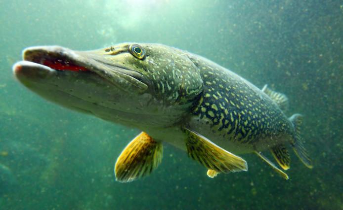 Een snoek onder water. Het is een van de grootste vissen die sportvissers met grote regelmaat vangen.