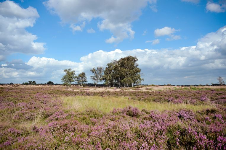 Heath vegetation and some birch trees in the Kalmthoutse Heide,a nature reserve on the Belgian-Dutch border.