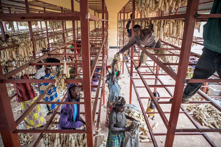 Boeren in Nyaruguru aan het werk bij een centraal inzamelpunt waar de maïs wordt gedroogd. Africa Improved Foods koopt de oogst op en verzorgt het transport naar Kigali.  Beeld Sven Torfinn