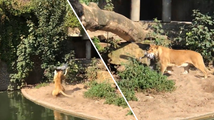 Leeuwin grijpt reiger in Artis