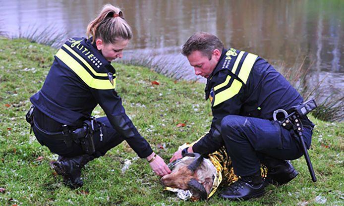 Twee agenten helpen een onderkoeld schaap. Foto ter illustratie.