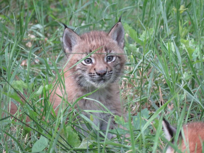Eén van de jonge lynxen in Anholter Schweiz.