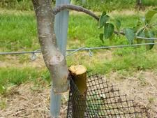 Honderden appelbomen vernield door mysterieuze fruitboomzager(s)