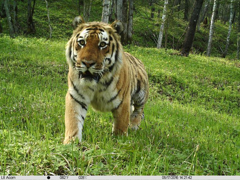 In De Bergen Van Noordoost China Is De Siberische Tijger Weer Koning