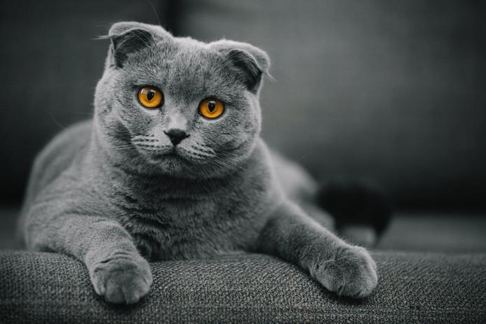 Un chat de race Scottish Fold.