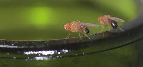 Vervelende fruitvliegjes in huis? Zo bestrijdt je ze