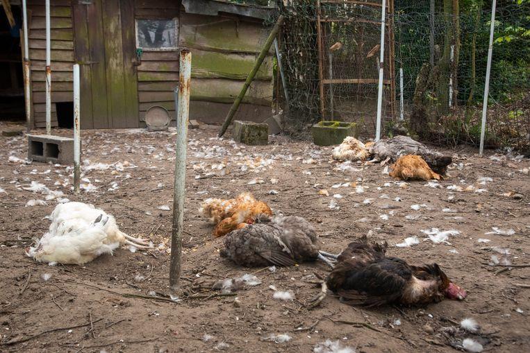 In de Damvalleistraat heeft een vos een kippenhok uitgemoord.